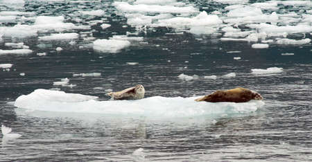 Uniquely marked sea lions rest on ice in Kenai Fjords Stock Photo