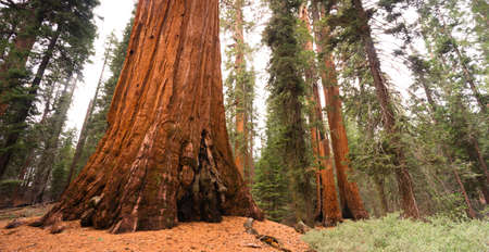 Giant Ancient Sequoia Tree Kings Canyon National Park Imagens