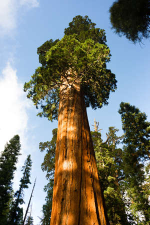 Giant Ancient Sequoia Tree Kings Canyon National Park Stock Photo