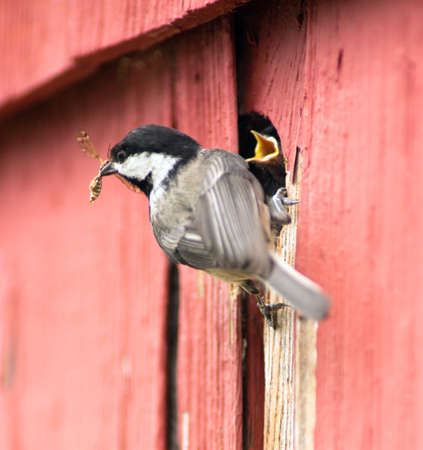 A Black-capped Chickadee brings insects back to hungry chicks. 免版税图像