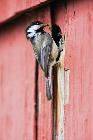 grate: A Black-capped Chickadee brings insects back to hungry chicks. Stock Photo