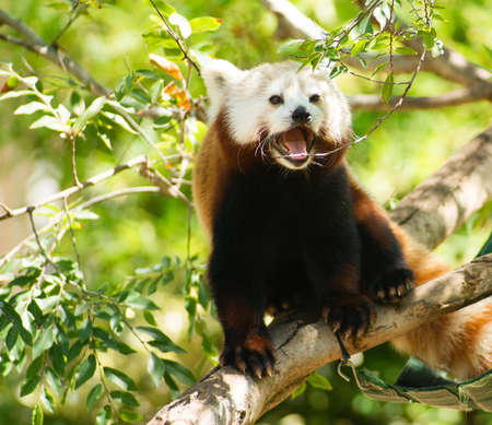 bearcat: Red Panda Wild Animal Resting Sitting Tree Limb
