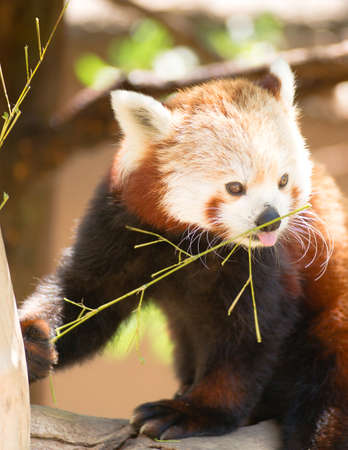 bearcat: A captive Red Panda sits in his favorite tree eating twigs and branches