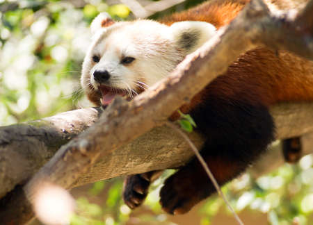 beautiful rare: A Lessor Panda tries to take a nap in a tree Stock Photo