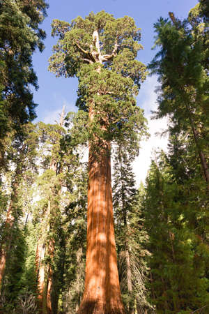 Large Sequoia tree estimated to be over 2,000 years old