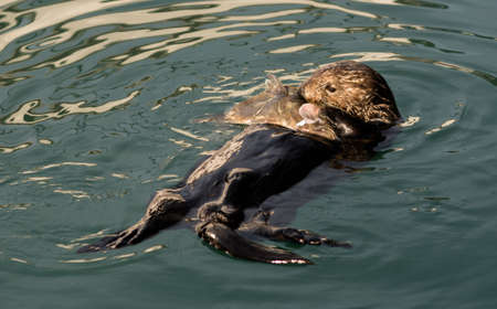A Sea Otter holds a large fish head on the waters surface