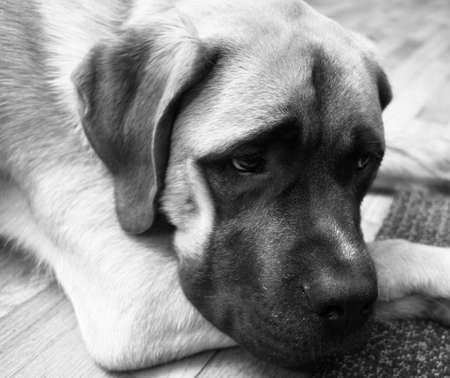 English Mastiff Mix Puppy Lays on Floor Looking Down