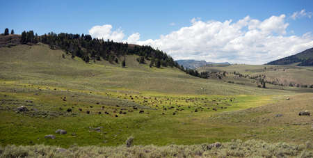 Bison rest in the soft grass in mid day heat at Lamar Valley Stock Photo