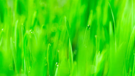 Wheatgrass passes water from root to stem blade tip overnight Stock Photo