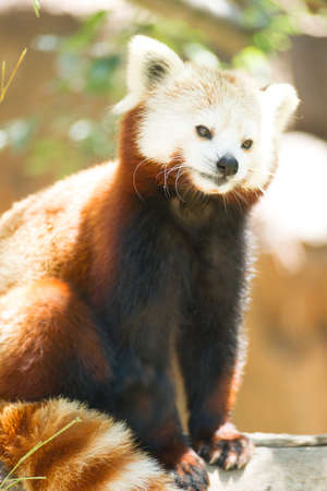 bearcat: Trying to find some shade in the summer sun takes the Red Panda into the trees