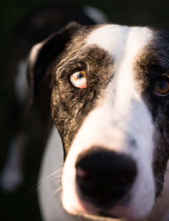 Blue and Orange eye looks up from a dogs face Stock Photo