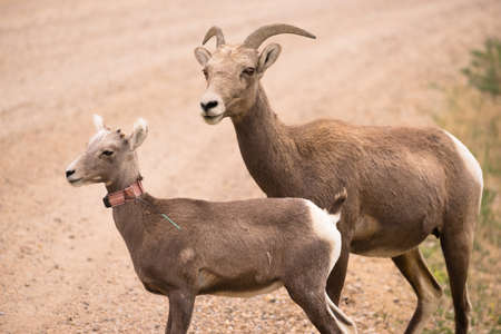 A mother mountain sheep and her calf rlook over a spot in the South Dakota Badlands Stock Photo