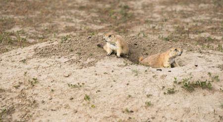 Dos perros de la pradera siguen siendo curiosos acerca de quién se acerca en Dakota del Sur Foto de archivo - 85212420