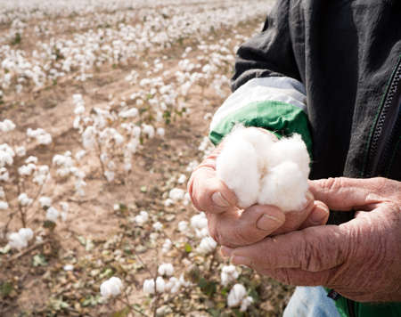 The cotton has to be dry to harvest, here a farmer checks for moisture