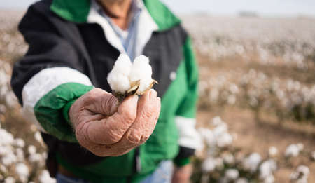 The cotton has to be dry to harvest, here a farmer show his crop with pride Archivio Fotografico