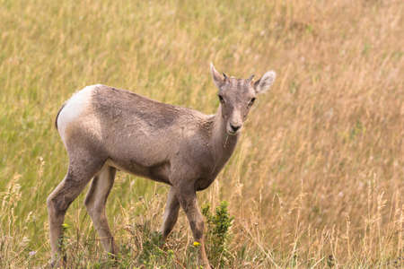 A young big game animal Bighorn Sheep stands over his current grazing spot
