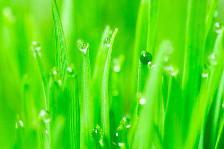Wheatgrass passes water from root to stem blade tip overnight Фото со стока