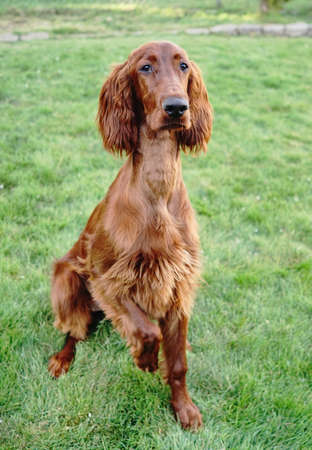 A young Irish Setter puppy stands pointing on a treat with one paw up Stock Photo