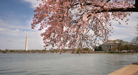 The Cherry Blossoms have already peaked around the Tidal Basin in Washington DC