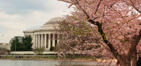 The Cherry Blossoms have already peaked around the Tidal Basin in Washington DC 免版税图像