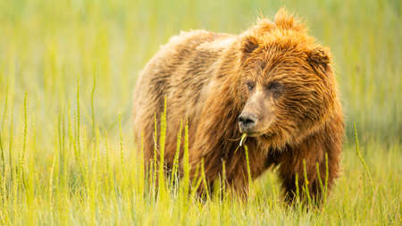 A large Alaskan Grizzly bear looks over to check her cubs while grazing Reklamní fotografie