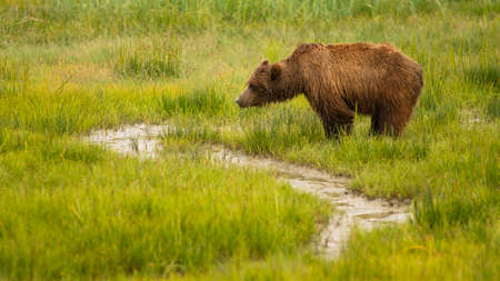 Large Female Grizzly Bear pauses while getting a drink from the creek Reklamní fotografie