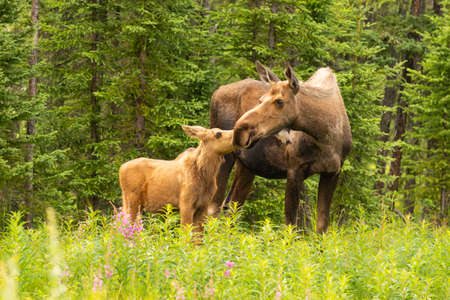 Moose Calf Touches His Nose to the Mouth of his Mother Cow