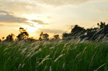 out of focus: Out focus of grass flower in the field during sunset Archivio Fotografico