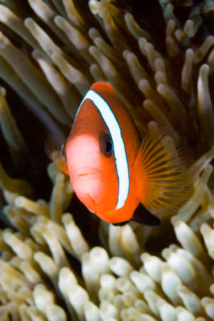 a clownfish in its anemone underwater