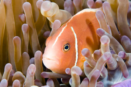 pink anemonefish: a clownfish in its anemone underwater