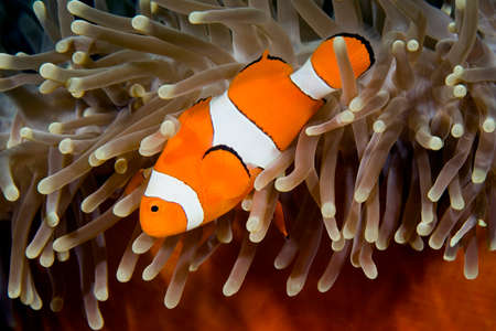 a clownfish swimming in its anemone underwater Stock Photo - 1480492