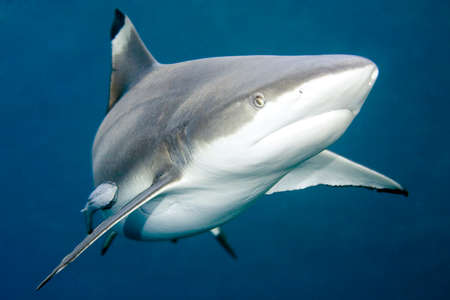 a closeup of a blacktip reef shark swimming underwater, with a remora, or slender suckerfish, attached to its side.