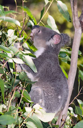 closeup of an Australian Koala eating a gum leaf Stock Photo - 1527649
