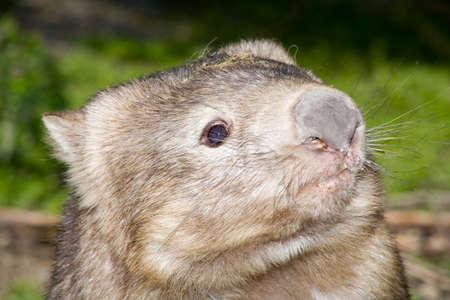 an Australian wombat
