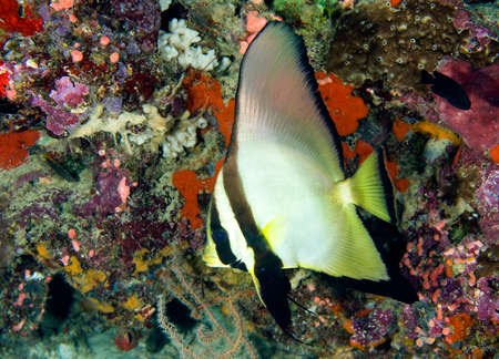 a tropical batfish swimming on the reef underwater