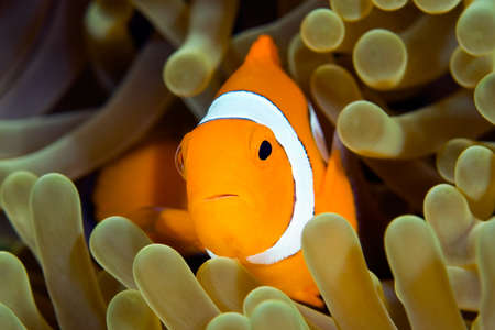 ocellaris: a clown anemonefish swimming in its anemone underwater