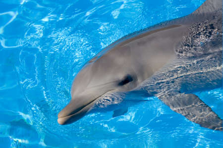 Bottlenose Dolphin swimming along with its head above water Stock Photo
