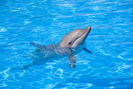 porpoise: Bottlenose Dolphin swimming along with its head above water Stock Photo