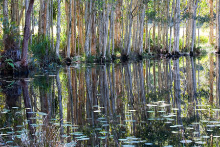 a mirror reflection of paperbark trees in a swamp photo