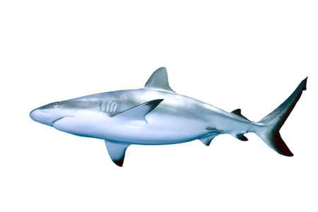 Grey Reef Shark isolated on white background Stock Photo