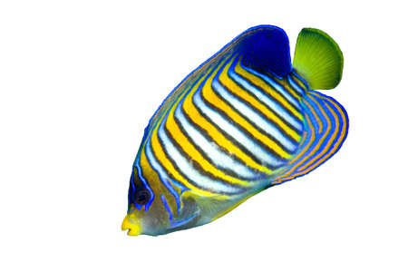a colorful tropical regal angelfish isolated on white background