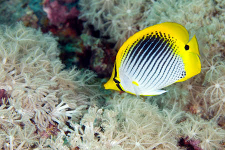 a beautiful butterflyfish swimming over a patch of soft corals, underwater.
