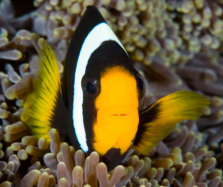 A clownfish swimming in its anemone, underwater