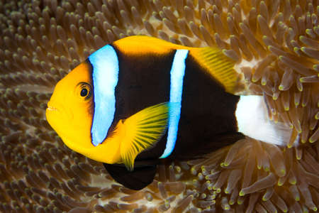 clown fish amphiprion: an orange fin anemonefish living in the tentacles of its anemone