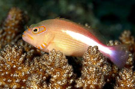 an arc eyed hawkfish sitting on coral Stock Photo