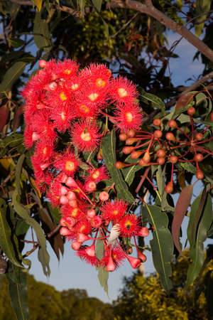 mass flowering: a mass of red gum tree flowers with bees drinking the nectar Stock Photo