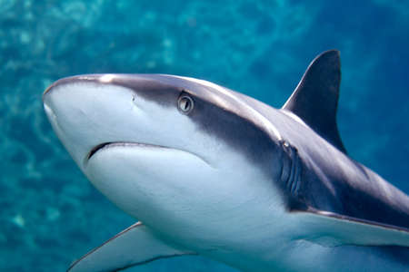 a grey reef, or whaler shark, swimming along underwater.