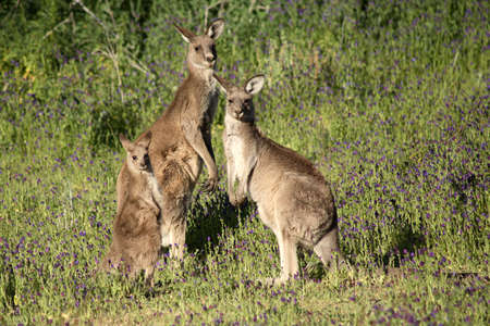to curse: An Eastern Grey Kangaroo , these kangaroos are wild and living in outback Australia. The small joey, on the left, is still dependent on the mother. The purple flowers are a noxious weed called Pattersons Curse
