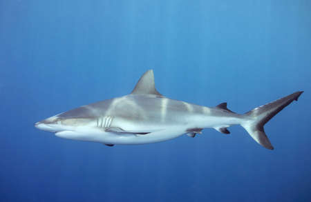 A grey whaler, or reef shark, swimming underwater. Sunbeams are shining down through the water and reflecting on the sharks back.