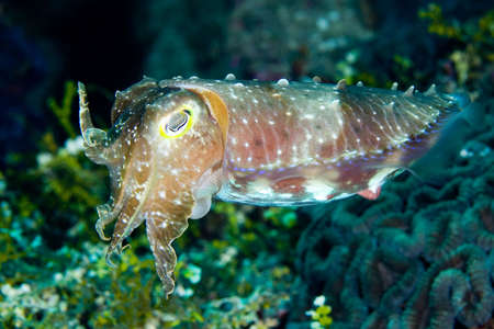 a broadclub cuttlefish swimming above the reef, underwater. This is the largest of the tropical cuttlefishes and it can change color very quickly.